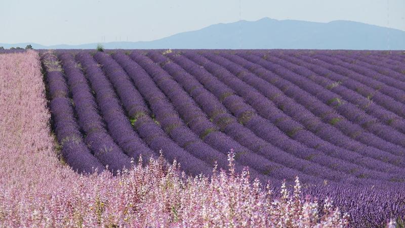 Beautiful lavender fields